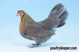Blue Partridge Dutch Bantam