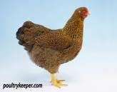 Partridge Wyandotte Female