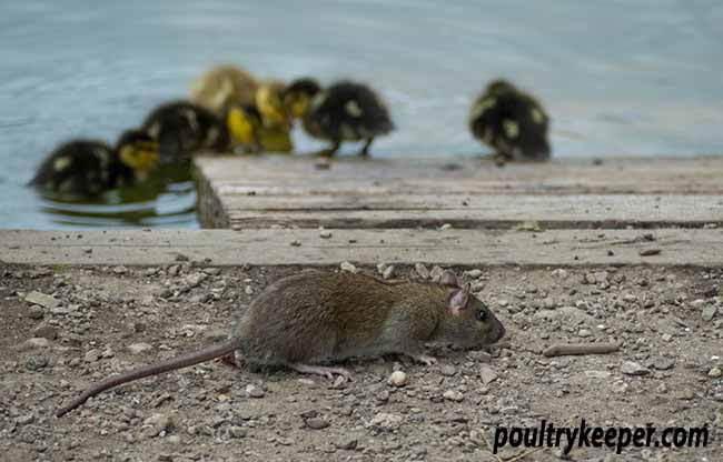 Rat and Ducklings