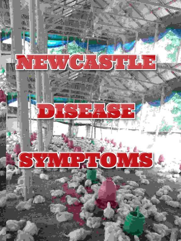 Newcastle disease symptoms