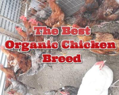 Organic chicken breed