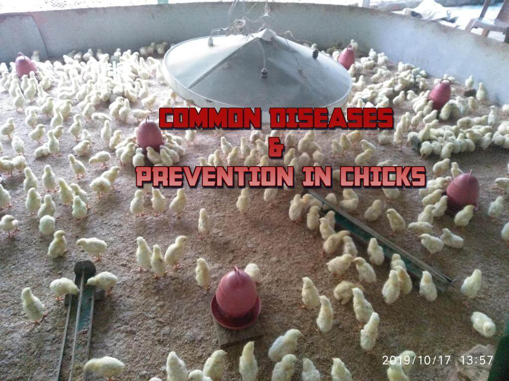COMMON DISEASES & PREVENTION IN CHICKS