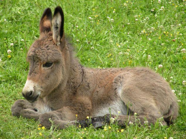 Pour des raisons liées à la demande du marché chinois, le trafic d'âne gagne du terrain en Afrique. Tous les pays concernés font ce qu'ils peuvent pour sauver ces animaux, sauf le Zimbabwe.