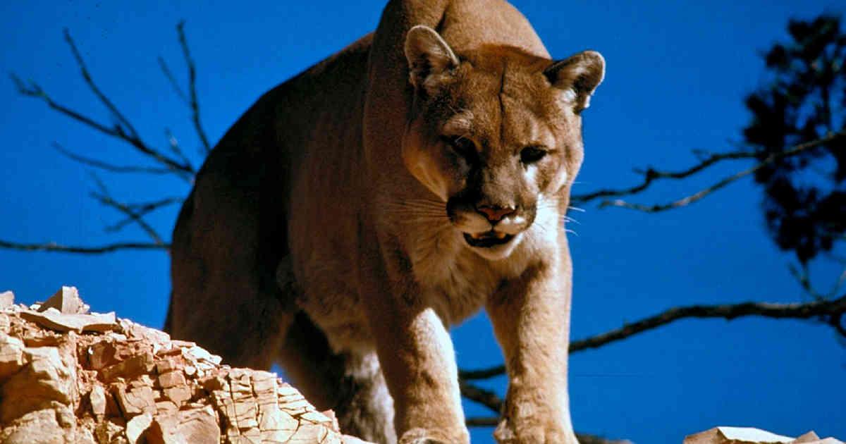 De gira: Puma fue visto recorriendo las calles de Santiago