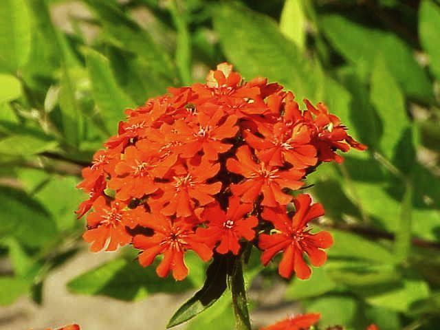 Maltese Cross Lychnis Chalcedonica