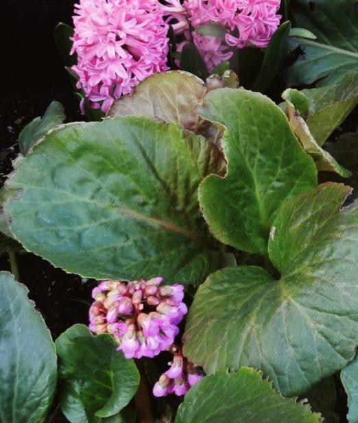 bergenia and hyacinths