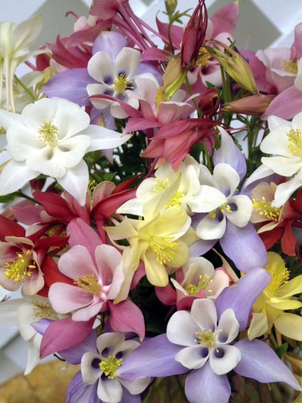 bi-color perennial columbine