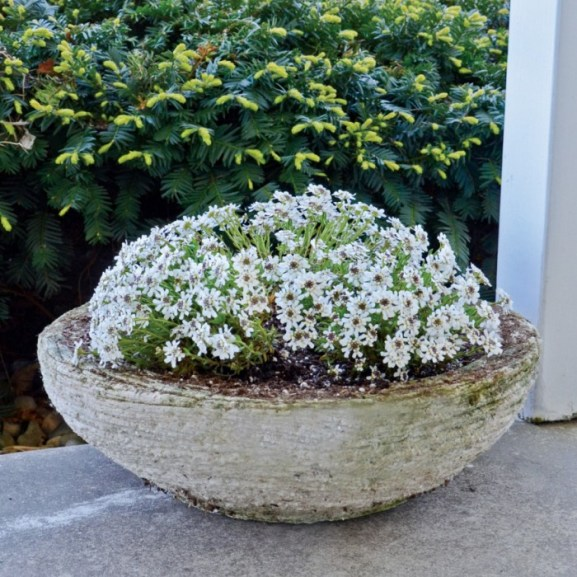 candytuft container garden