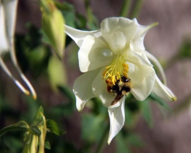 honey bee inside white columbine