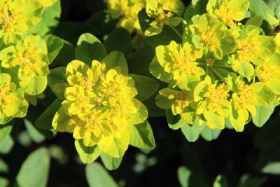 Cushion Spurge Euphorbia Polychroma Powerfulperennials Com