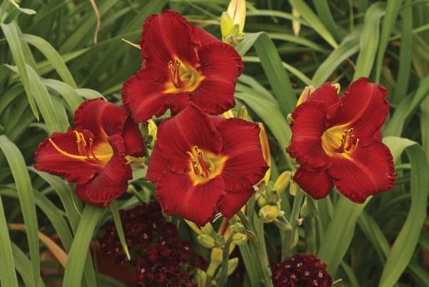 red daylily hemerocallis