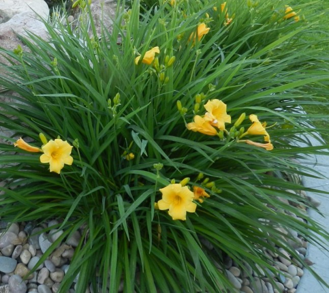 daylily hemerocallis hot summer color powerful perennials. Black Bedroom Furniture Sets. Home Design Ideas