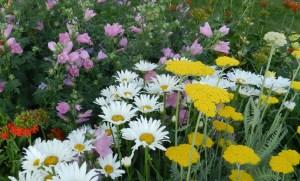 shasta daisies - perennial garden