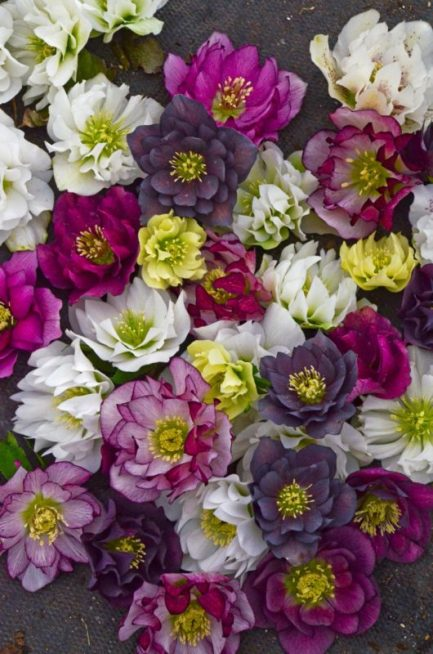 helleborus lenton rose blossoms