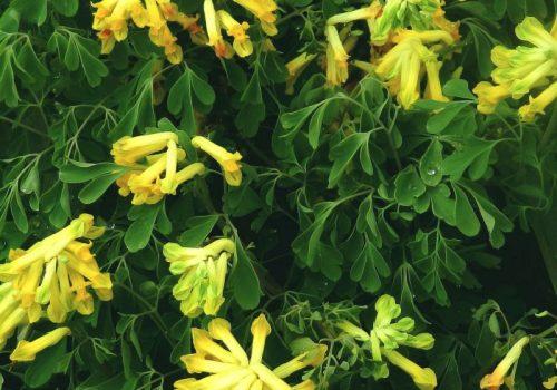 corydalis lutea blossoms