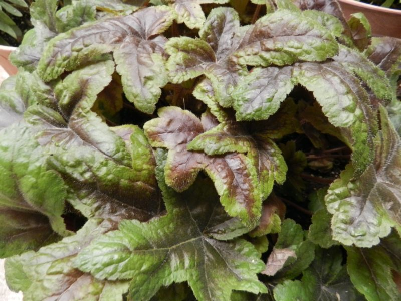 foamflower foliage (Tiarella)