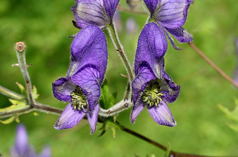 aconitum monkshead