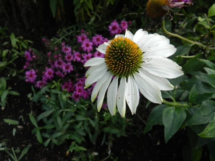 echinacea - white