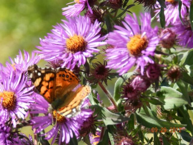 asters native perennials