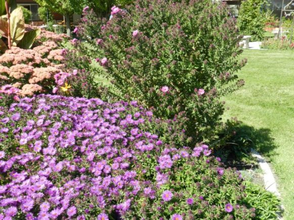 asters-purple-dome-reverted