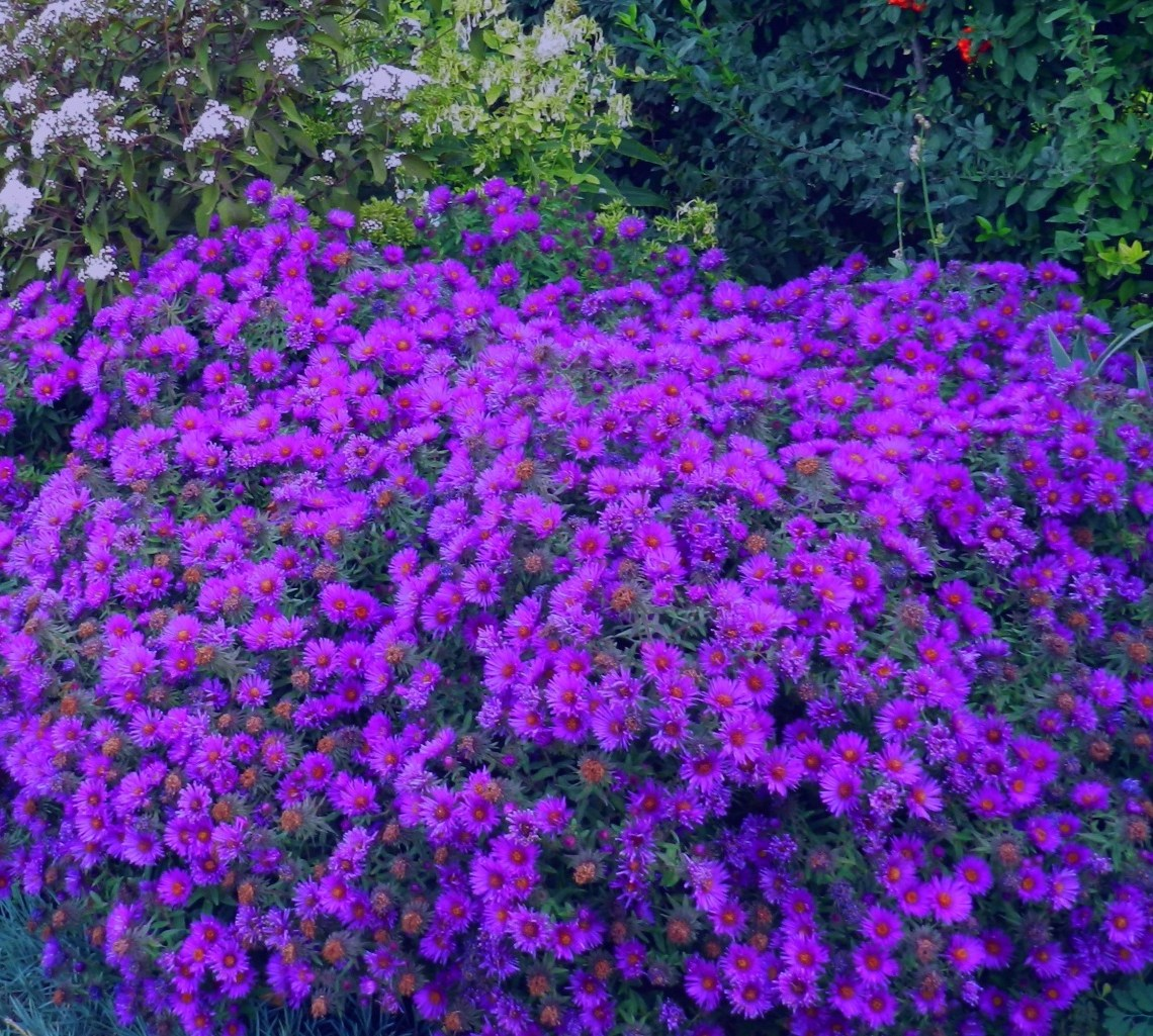 Asters: Growing Tips for Autumn's Favorite Perennial ...
