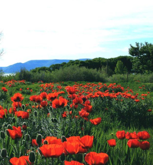 oriental poppy field