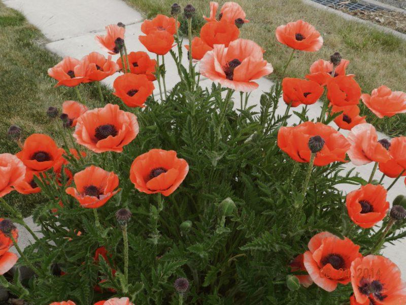 Oriental poppy - rhoeas