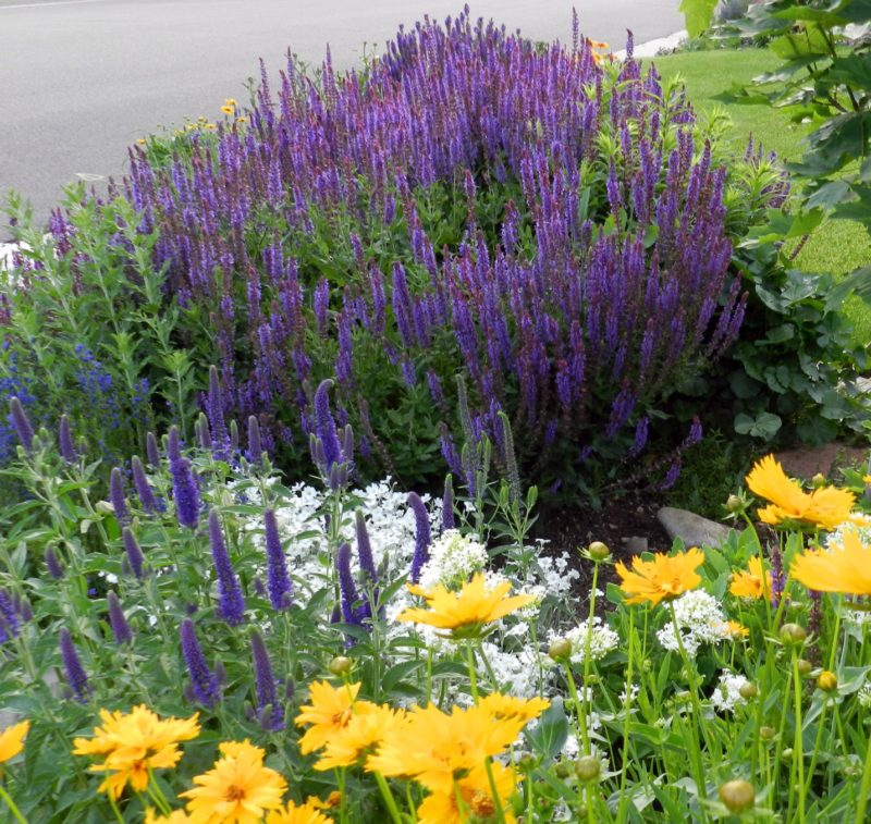 Salvia - Constant Color for the Novice Gardener - Powerful ...