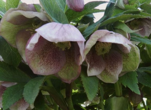Lenton rose - spring fever