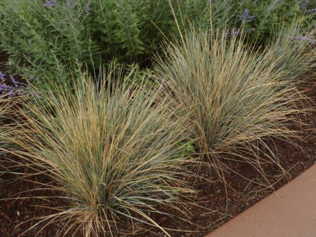 long lived perennials grasses