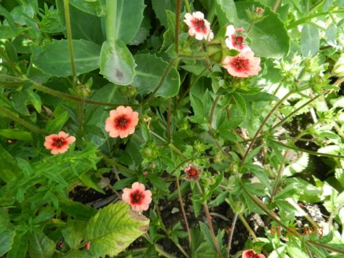 potentilla nepalensis - rock garden
