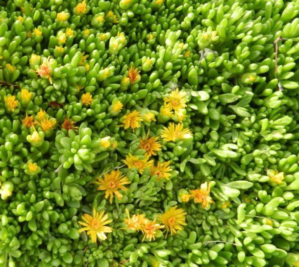 alpine perennials delosperma