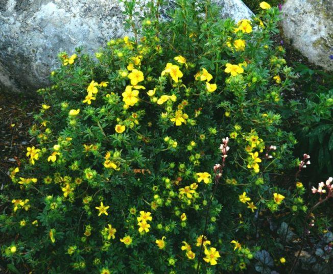 Potentilla - alpine perennial landscaping