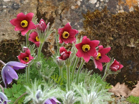 Pulsatilla in a rock garden