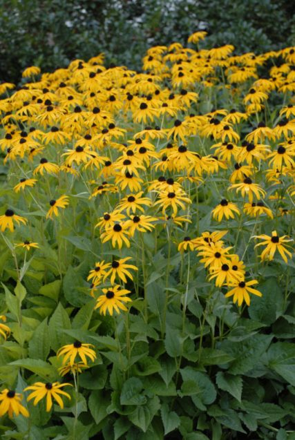 Rudbeckia fulgida, 'Goldstrum' long-blooming perennials