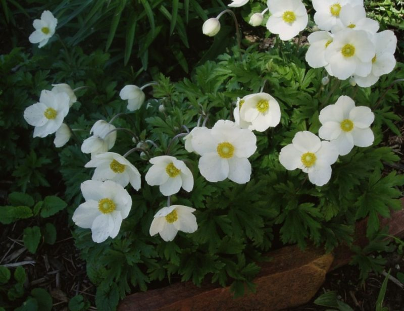 Snowdrop anemone anemone sylvestris powerful perennials the snowdrop anemone is another powerful perennial every gardener should know well affectionately called snowdrop or windflower the greek meaning of the mightylinksfo Image collections