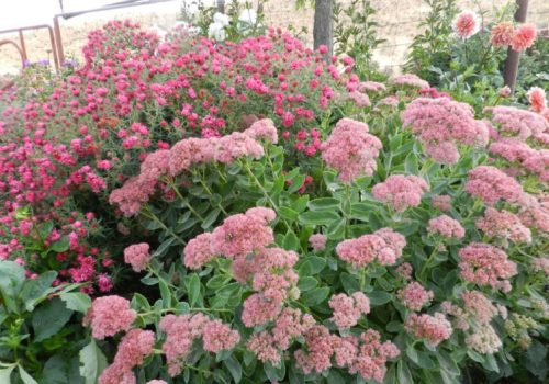 sedum and asters