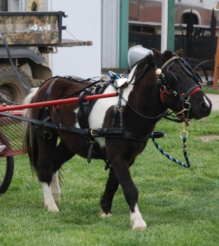 Extra-Heavy-Duty-Black-Leather-Mini-Miniature-Horse-Drawn-Harness-0-0