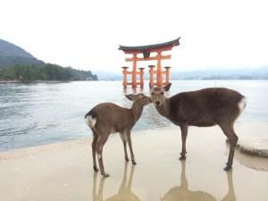 厳島神社_鹿