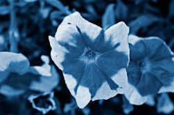 Cyanotype Photography [pt.29] (7)