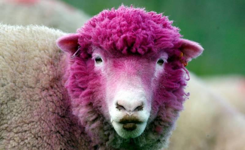 Гламурная овечка.