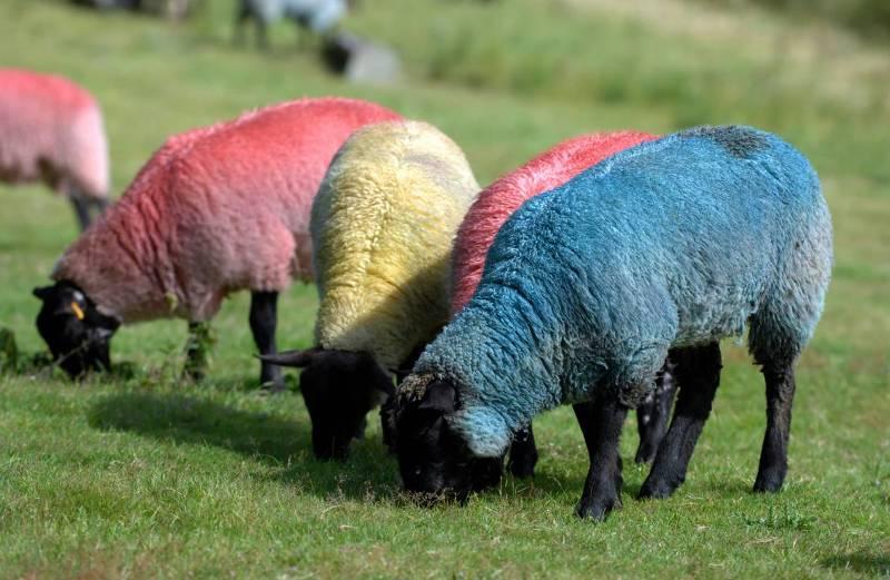Разноцветные овцы.