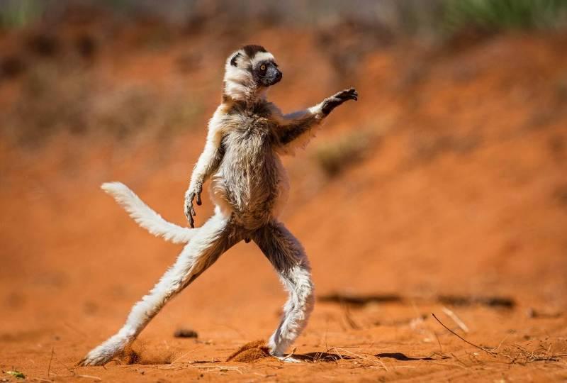 Танцуй-танцуй! (Фото Alison Buttigie Comedy Wildlife Photography Awards).