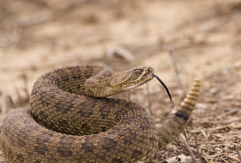 Гремучая змея.