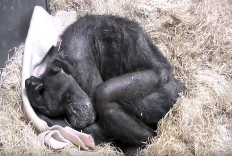 Умирающая шимпанзе.
