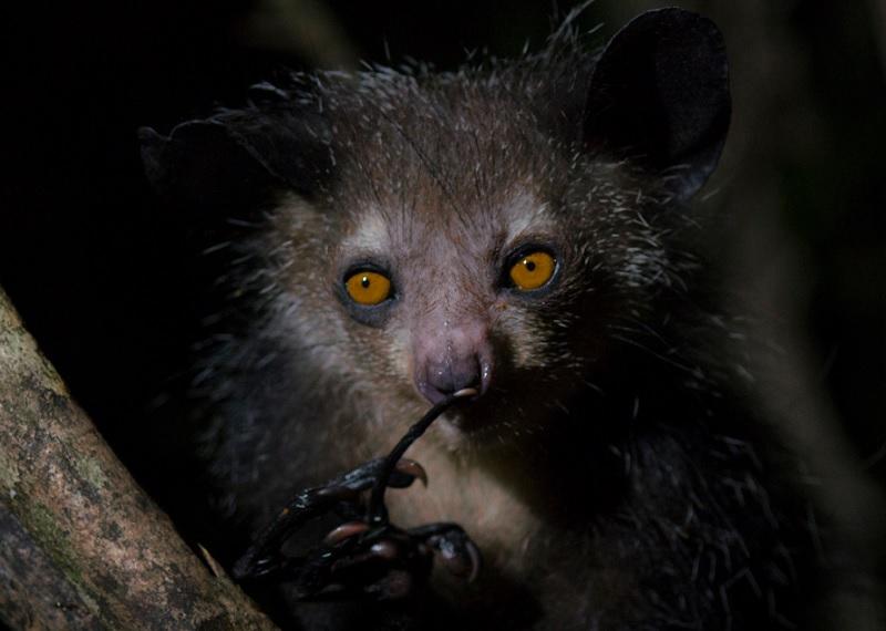 ай ай, странные животные, животные Мадагаскара