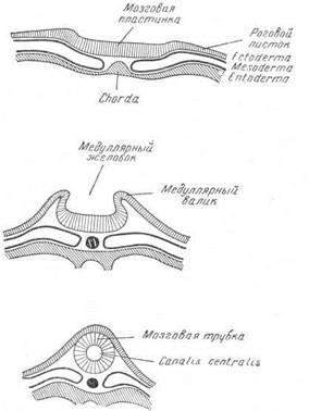 Эмбриология нервной системы