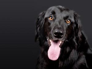 A black dog