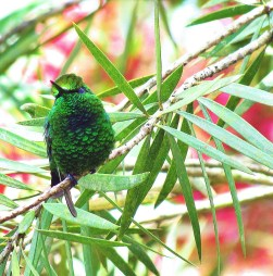 ♀=♂ Esmeralda coliverde, Green-tailed Emerald (Chlorostilbon alice)