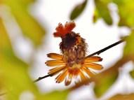♂ Coqueta Coronada, Spangled Coquette (Lophornis stictolophus)